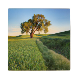 Lone tree surrounded by rolling hills of wheat 2 maple wood coaster