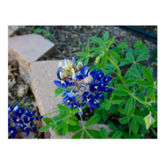 Lonely Bluebonnet Postcard