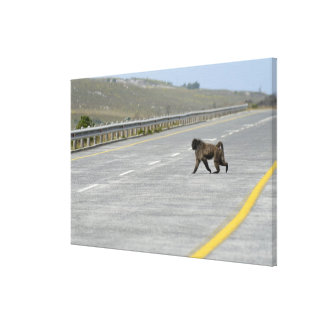 Lonely Chacma baboon crossing highway road Gallery Wrapped Canvas