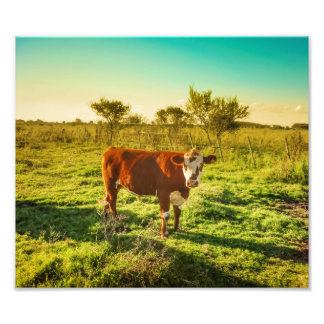 Lonely Cow in the Meadow Facing the Camera Photographic Print