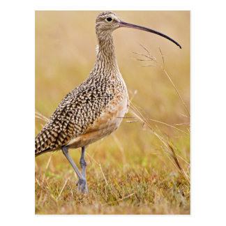 Long-billed Curlew Numenius americanus) adult Postcard