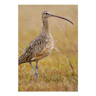 Long-billed Curlew Numenius americanus) adult Poster
