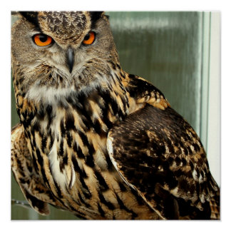 Long Eared Owl Poster