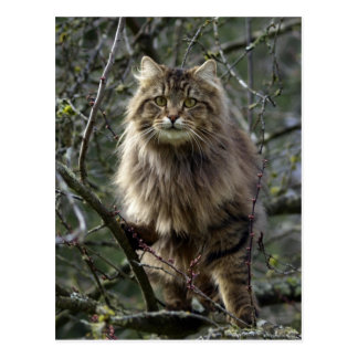 Long-hair Tabby Cat  Animal Postcard