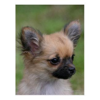 Long Haired Chihuahua Puppy Looking at Camera Postcard