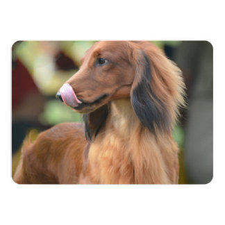 Long Haired Dachshund Announcements