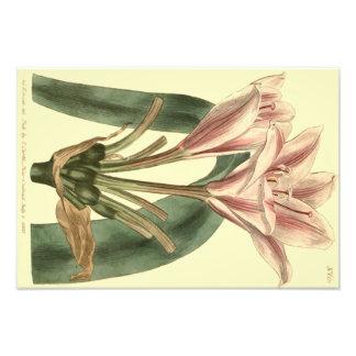 Long Leaved Amaryllis Illustration Photo