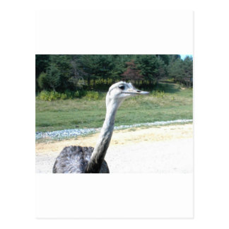 Long Neck Ostrich Profile Postcard
