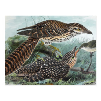 Long-Tailed Cuckoos Vintage Illustration Postcard