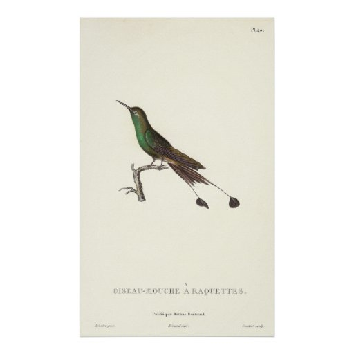 Long-tailed Green Humminbird from Antique Print