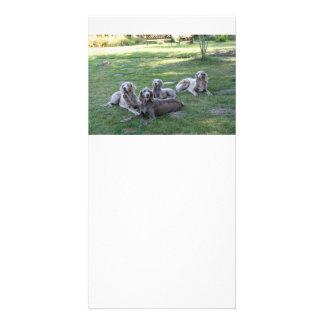 longhair weims customised photo card