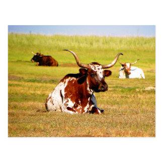 Longhorn Postcard