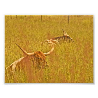 Longhorns In Grass. Photo