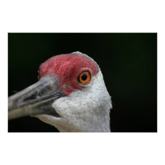 Looking at you [Sandhill Crane] Poster