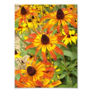 looking down at the black eyed susans photographic print