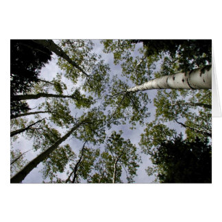 Looking Up at Aspen Trees in forest Card
