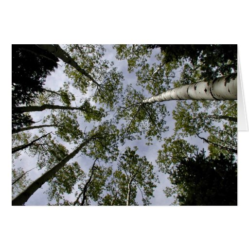 Looking Up at Aspen Trees in forest Cards