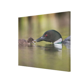 Loon Adult Feeds Chick Canvas Print