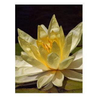 Lotus At The Reflecting Pond In Balboa Park Postcard
