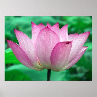 Lotus Blossom Posters
