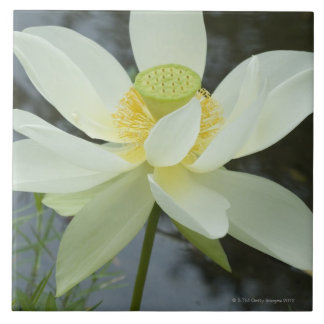 Lotus flower at edge of pond Florida Tile