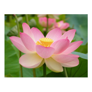 Lotus Flower in Bloom (Nelumbo nucifera) Postcard