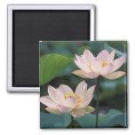 Lotus flower in blossom, China Refrigerator Magnet