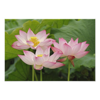 Lotus flower, Nelumbo nucifera, China 2 Photo Print
