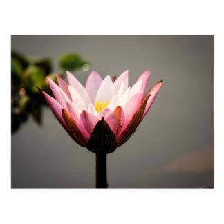 Lotus flower (water lily) postcard