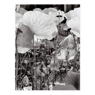 Lotus pond, Black and White Photography Postcard