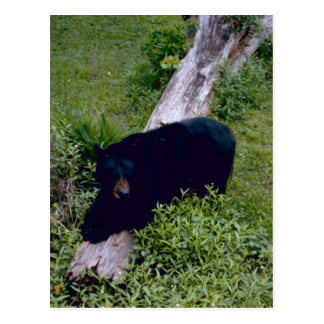 Louisiana Black Bear Postcard