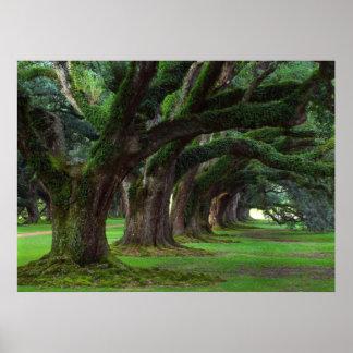 LOUISIANA LIVE OAK TREES POSTER
