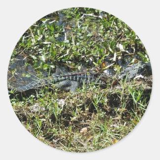 Louisiana Swamp Alligator in Jean Lafitte Close Up Round Sticker
