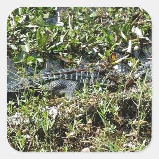 Louisiana Swamp Alligator in Jean Lafitte Close Up Square Sticker