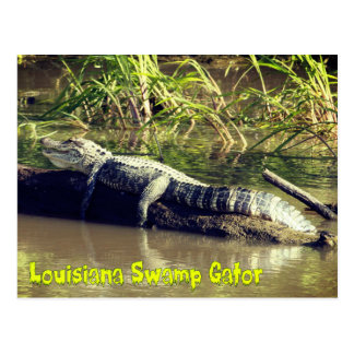 Louisiana Swamp Gator Postcard