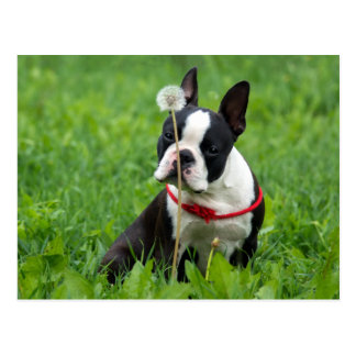 Love Boston Terrier Puppy Dog Thinking of You Postcard