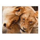 Love Lions cuddling animals wildlife Postcard