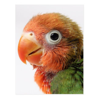 Lovebird chick on white background. postcard