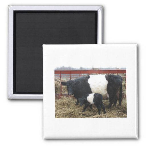 Lovely Beltie Cow and Calf Magnets
