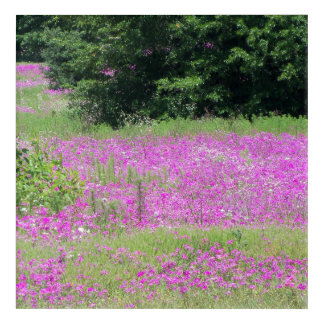 Lovely field of pink Phlox, Spring wildflowers Acrylic Print