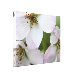 Lovely Pink Cherry Blossoms Stretched Canvas Print