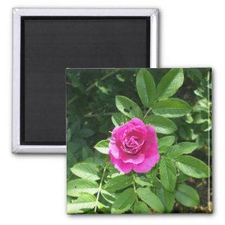 Lovely Pink Rose-June- Rose month Square Magnet