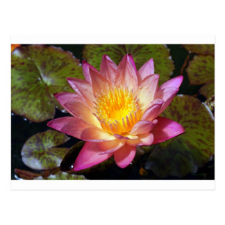 Lovely Pink Water Lily Postcard