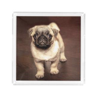 Lovely Puppy Pug, Dog, Pet, Animal Acrylic Tray