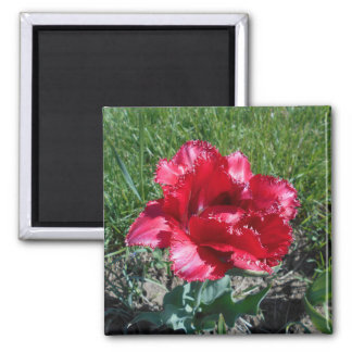 Lovely Red Tulip Magnet