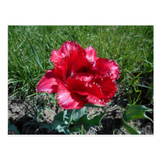 Lovely Red Tulip Postcard