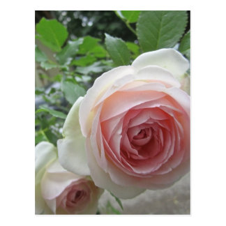 Lovely Soft Pink Pierre De Ronsard Rose Postcards