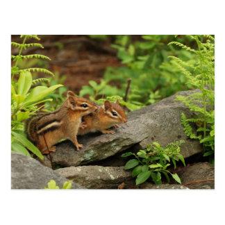 Loving Baby Chipmunk Siblings Postcard