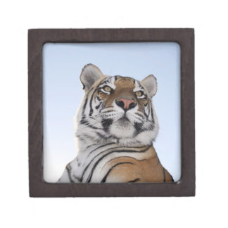 Low angle view of a Tiger (Panthera tigris) with Premium Gift Boxes