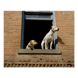 Low angle view of dogs in open window of brick poster